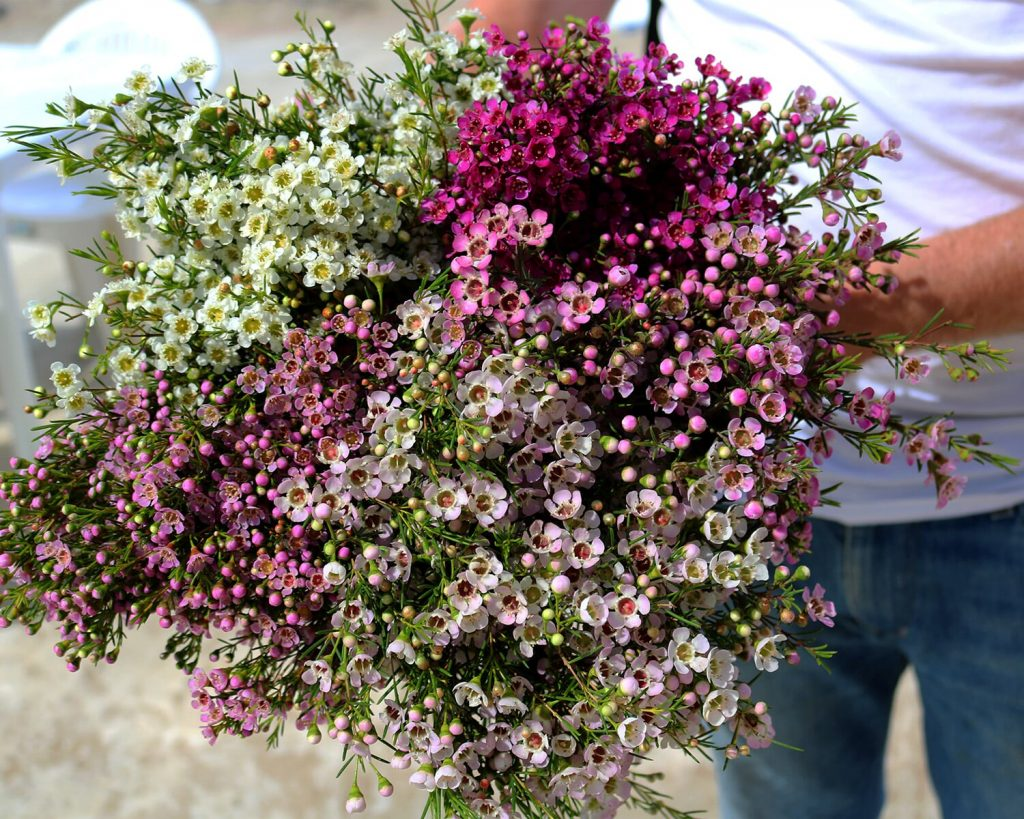 Waxflower-Peru-holding-bunch