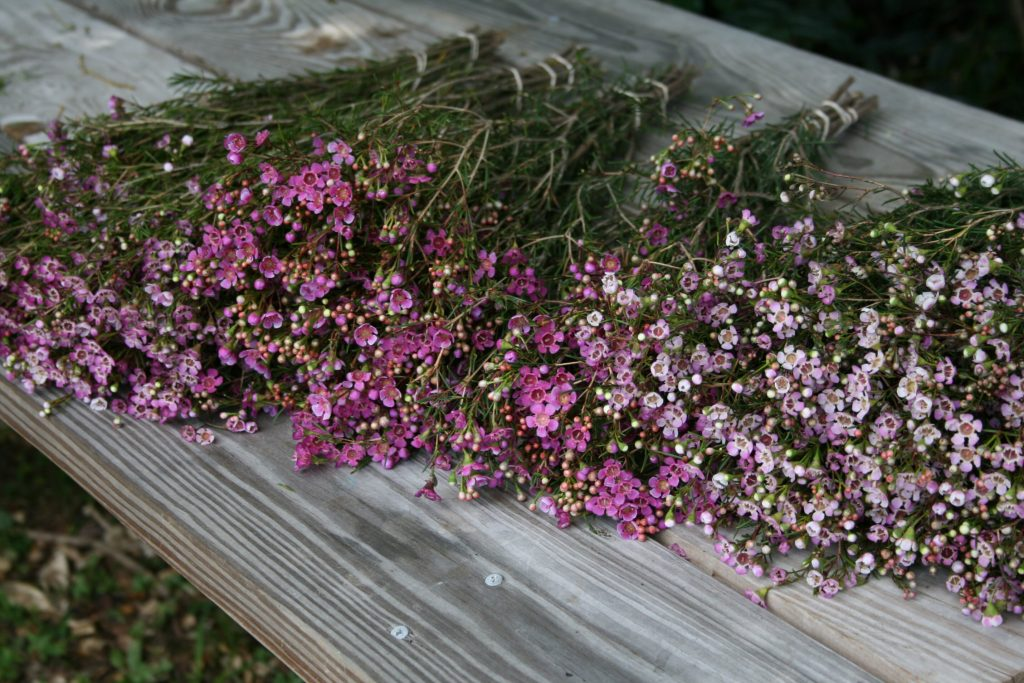 Waxflower-assorted-Peru