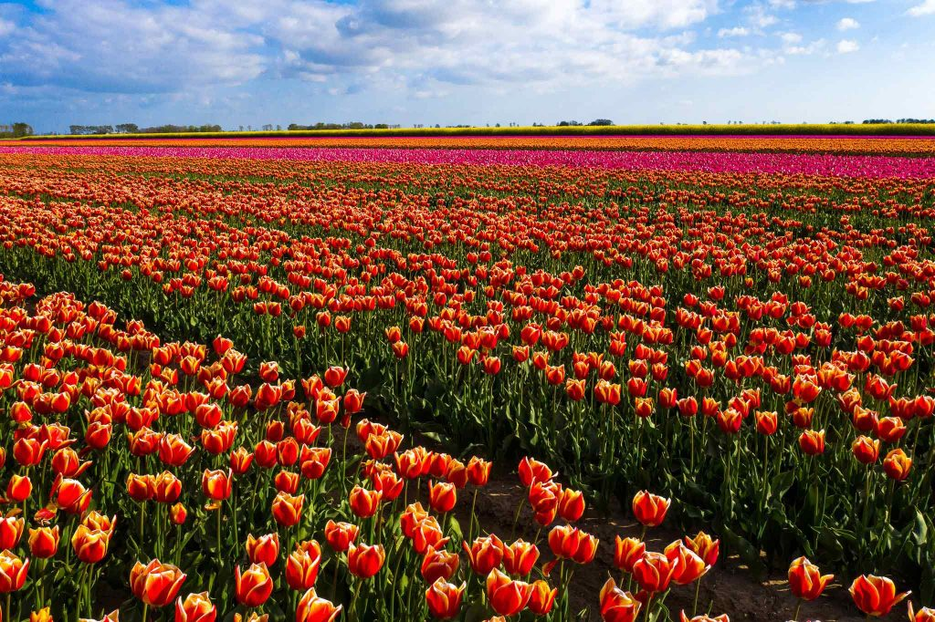 Tulip Stay Strong